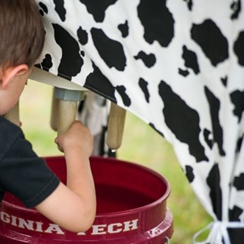 Franklin Southampton Tourism Milking Cow